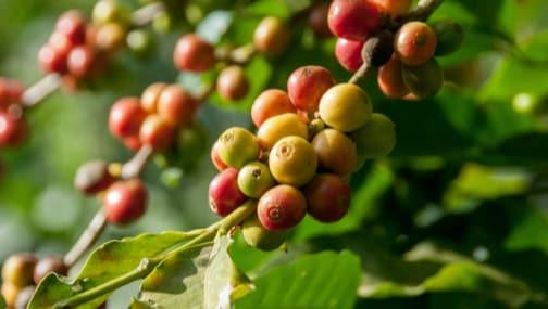 Apprendre - Parcours du café - Caféier - Fruit - Coffee Lounge